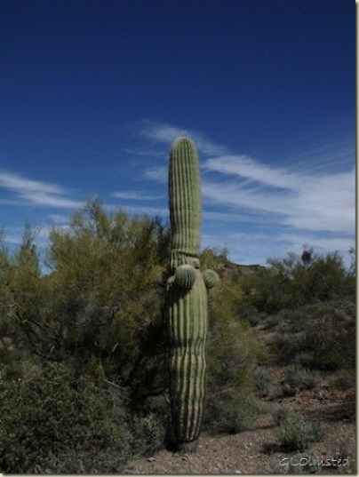 03 Saguaro BLM desert off Vulture Mine Rd Wickenburg AZ (768x1024)