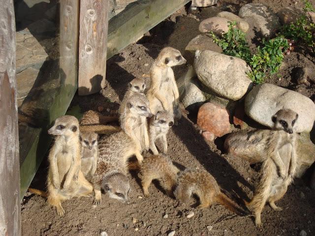 Stado surykatek w oliwskim zoo