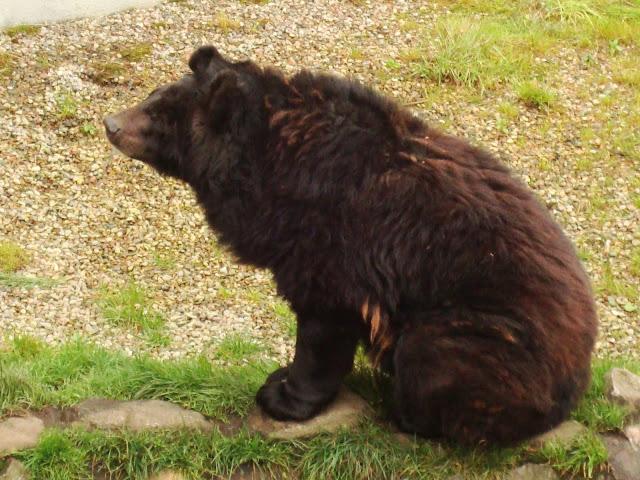 Małgosia - niedźwiedź himalajski z człuchowskiego zoo
