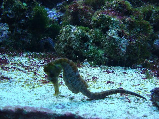 Akwarium Gdyńskie - pławikoniki żółte