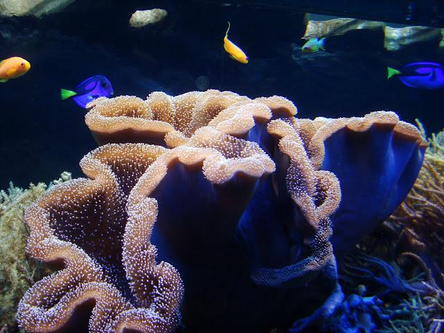 Mieszkańcy rafy koralowej - w tle m.in. pokolec królewski