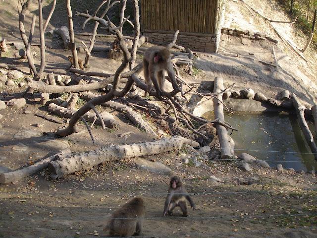 Makaki z płockiego zoo