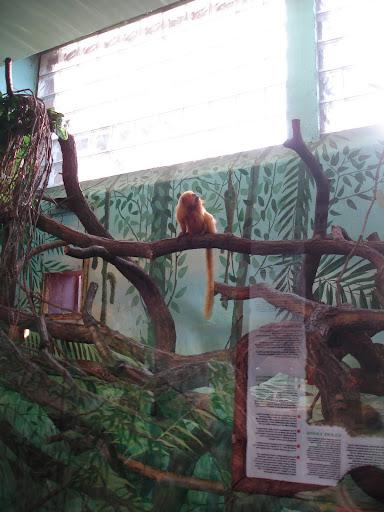 Marmozety lwie - woliera wewnętrzna