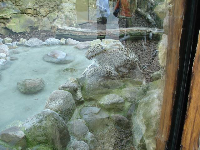 Pantera perska