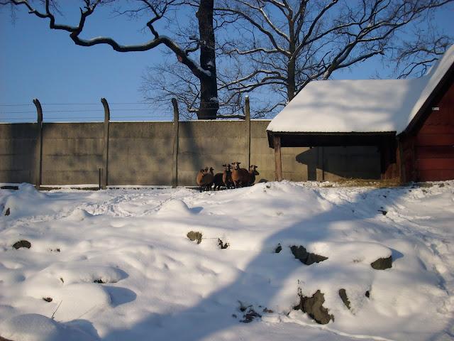 Owce kameruńskie - Zoo Wrocław