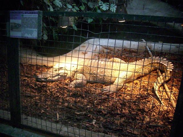 Krokodyl syjamski - Zoo Wrocław