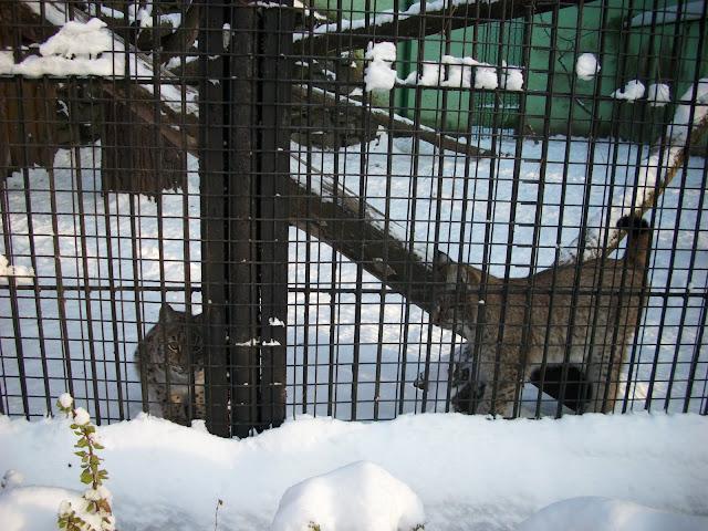 Rysie, urodzone w 2010 roku we wrocławskim zoo