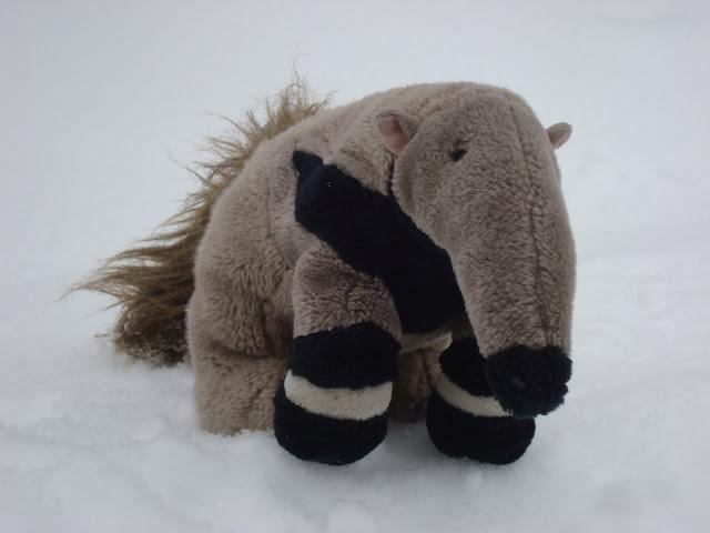 Tadeusz, śnieżny mrówkojad!