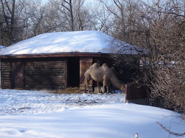 Wielbłądy dwugarbne