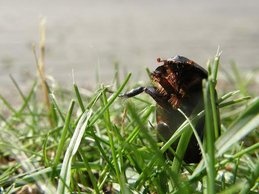 Ganajtúró bogár photostock, photos for sale, eladó képek Scarabeus affinis, Scarabeidae - ganéjtúrók, szkarabeusz Budapest, bogár, makró