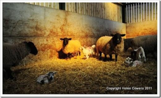 Sheep 349