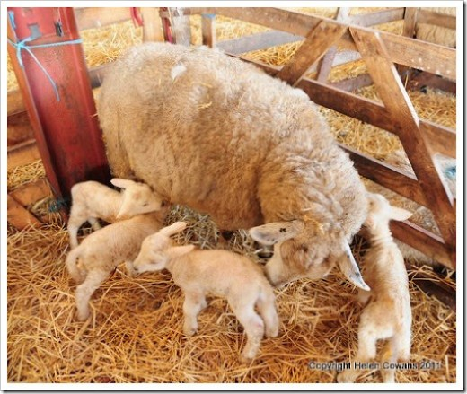 Sheep 376