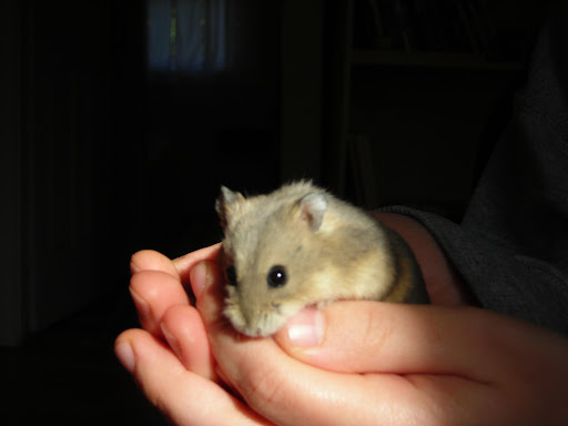 Clarence the Hamster