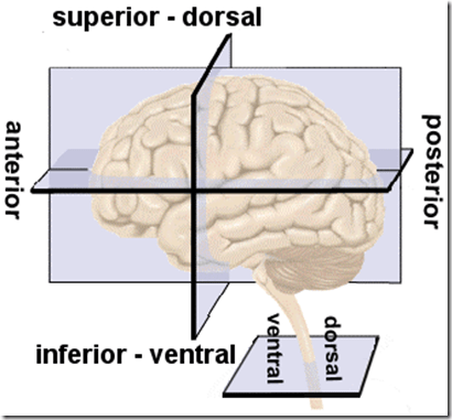 Human brain directions cross sections and divisions alwins world 1 left lateral view of the brain and spinal cord anterior to posterior front to back superior or dorsal top inferior or ventral bottom ccuart Gallery