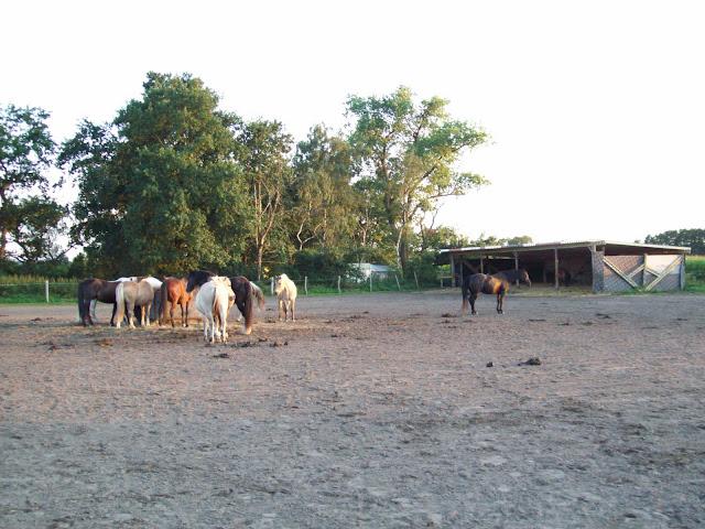 die Wallach Herde