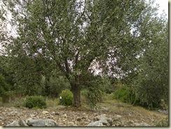 olive tree 2_1_1