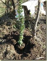 planting pyracantha_1_1