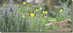 rosemary   daffodils_1_1