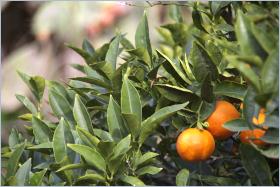 Sizilianische Küche - Zitrusfrüchte – das Gold von Sizilien