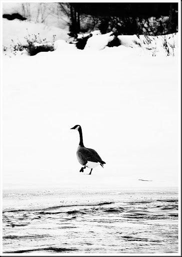 goose BW