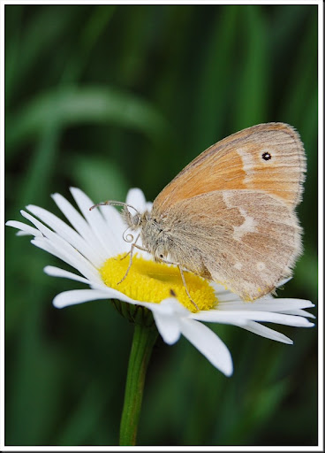 Ringlet Butterfly & Daisy