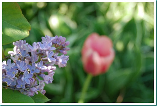 Lilac Tulip Behind