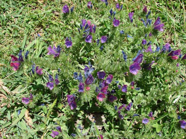 Flor Morada (Echium plantagineum).