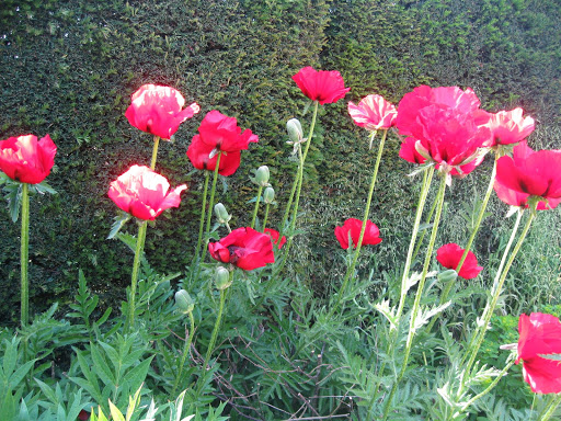Poppies at Sissinghurst for D-Day