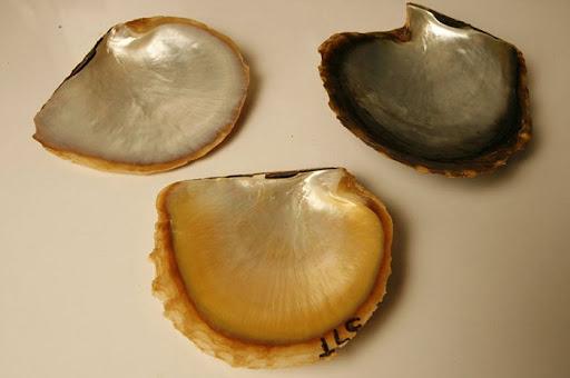 golden-pearl (9)