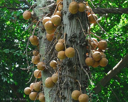cannonball-tree (11)