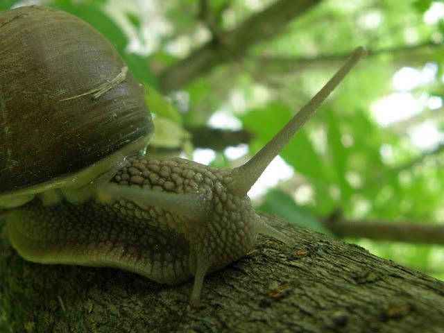 blog, Budapest, gastropoda, Helix pomatia, éti  csiga, éticsiga, csigusz, csigabiga