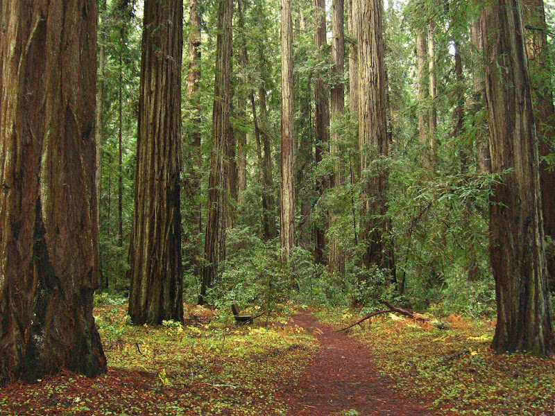 Vibrant old-growth redwoods