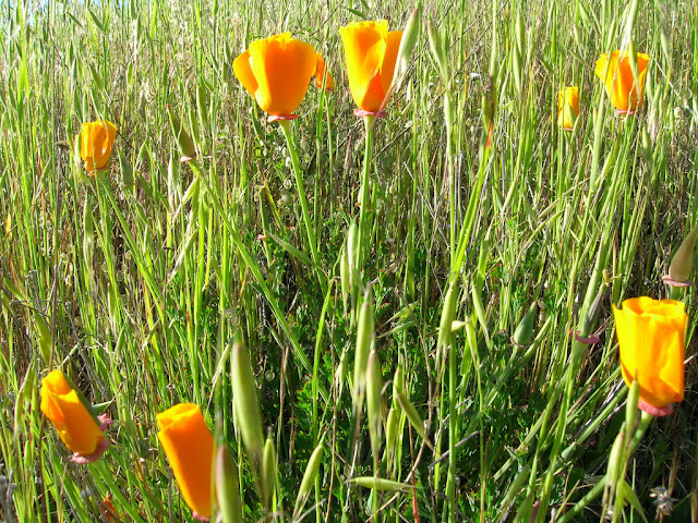 Ubiquitous California Poppy