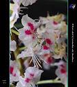 Flor del castaño de indias.- Galería Aljores