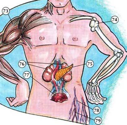 Diagrama de órganos internos - Online Dictionary for Kids