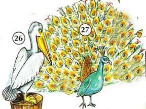 26. пеликан 27. павлин
