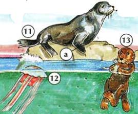11. seal a. flipper 12. jellyfish 13. otter