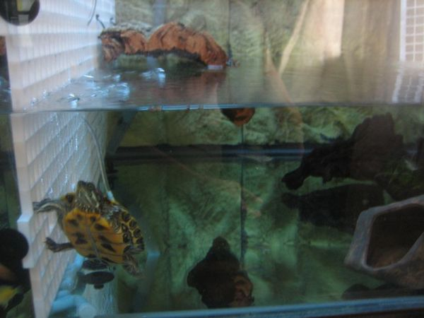 pet turtle tank and a red ear slider turtle