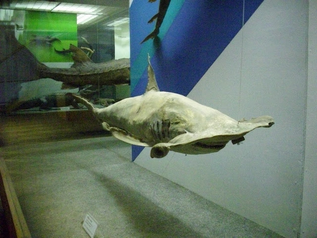 Muzeum Przyrodnicze we Wrocławiu - rekin młot