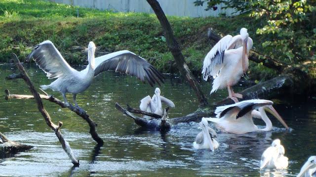 Pelikany w opolskim zoo