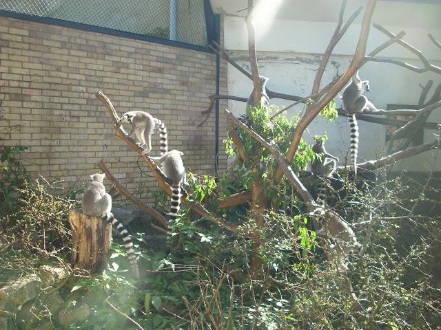 Lemury katta na wybiegu zewnętrznym
