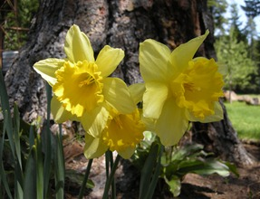 daffodils at last at Rocky Point