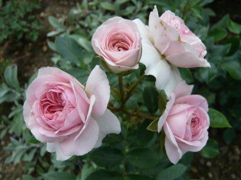 rosen kordes katalog rosanas rosengarten: floribunda, teil : larissa