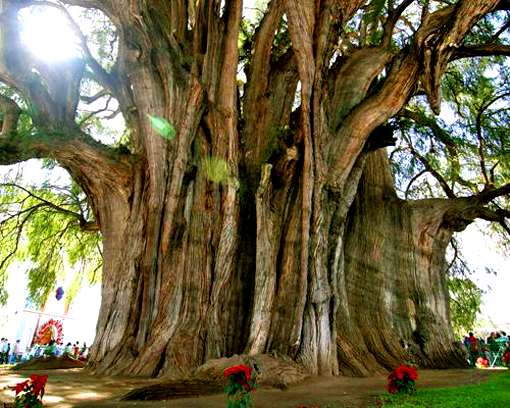 montezuma cypress tule tree - top-10-largest-trees-in-the-world-that-you-should-know-about