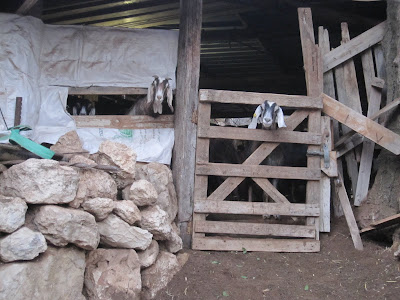 Goats - priceless