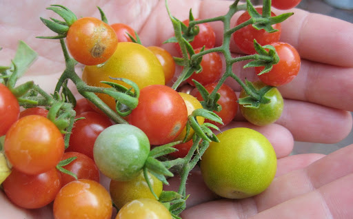 image of freshly-harvested wild tomatoes, borrowed from centralfloridagarden.blogspot.com