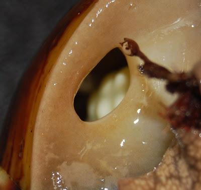 schwangere achatina fulica