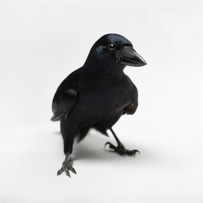 new-caledonian-crow-vince-musi 1.jpg