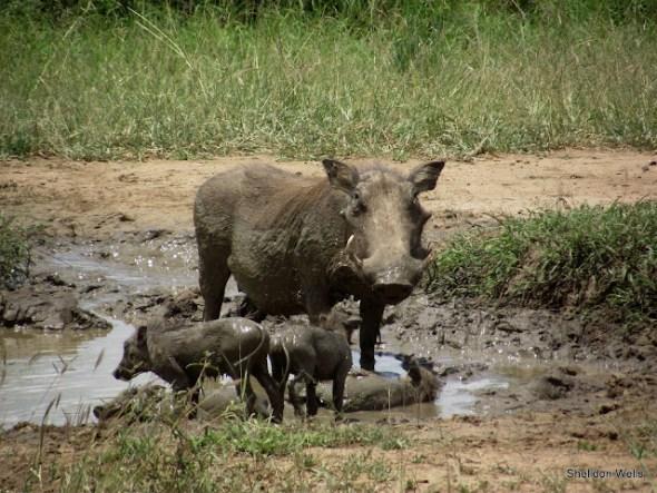 Warthog at the Hluhluwe Imfolozi Game Reserve