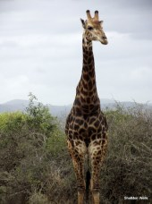 Giraffe at Tala Game Reserve, Durban, South Africa